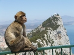 Barbary Ape, on Rock of Gibraltar